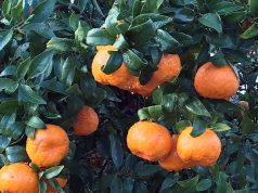 Imperial Mandarines