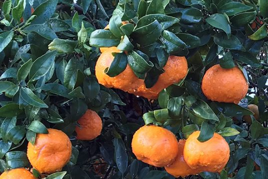 Imperial Mandarines