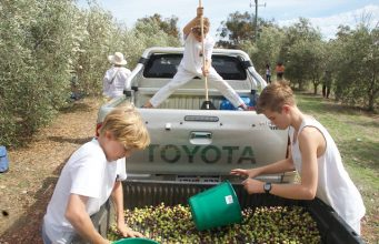 Olive picking in the Northern Valleys