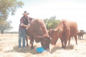 Steve with his purebred shortborn bull, Classic, and Zena, the twinning cow - also a purebred shorthorn.